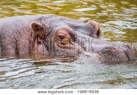 Hippotamus floats with only head above surface of the water