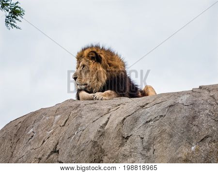 Proud lion lies on top of a rock