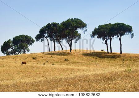Countryside landscape. Cork oak trees and single cow on farmland field at sunset. Evora Alentejo Portugal