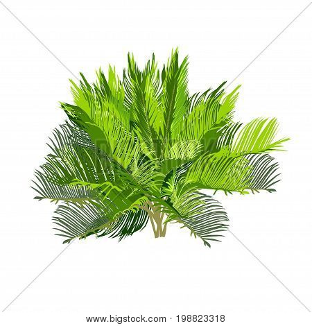 Young cycas the color vector image on a white background
