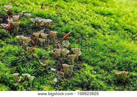 Small Mushrooms In The Moss Closeup