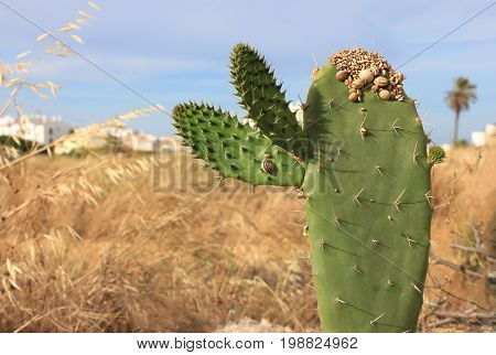 Green cactus with small snail сlams living on it. Many mollusks feed from cactuses - rich water resource. Summer time drought, pale scorched grass, close up view on rural countryside farm background