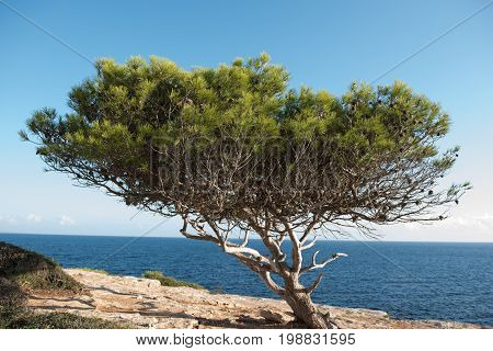 Gnarled pine in the evening sun in the Steilküste of Majorca