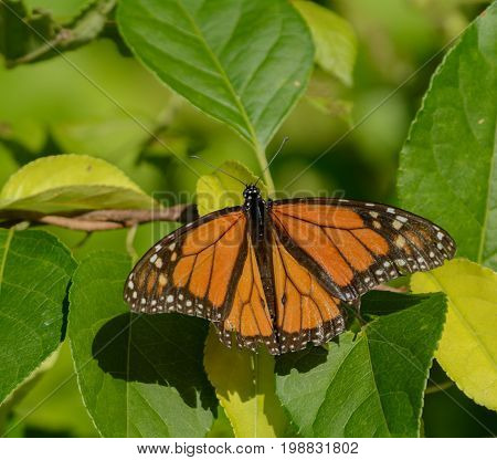 A Monarch Butterfly (Danaus plexippus) sunning on a leaf in Andover Township, Sussex County New Jersey, USA.