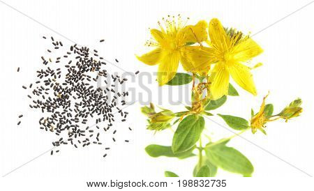 Seeds and flower of Saint Peter's wort (Hypericum tetrapterum) isolated on white background