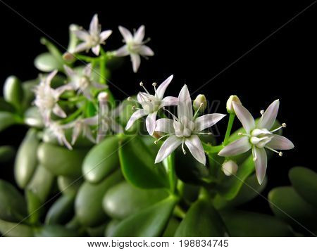 Crassula ovata with flowers known also as jade plant or money tree friendship tree lucky plant on black background