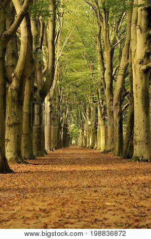 Oaklane in the autumn in Oranjewoud , Holland