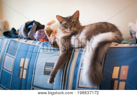 Somali Cat Blue Color Lying On Sofa