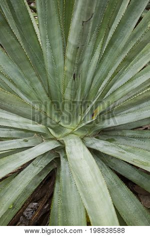 Blue Agave plant on a farm in Jalisco Mexico.