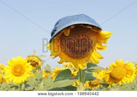 Sunflowers garden. Sunflower in a cap under the scorching sun. Sunflowers have abundant health benefits.