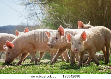 The Young pigs grazing on green grass