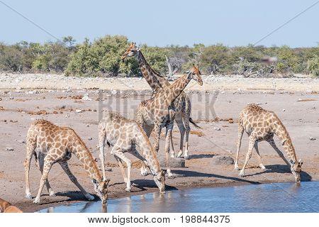 Namibian giraffes giraffa camelopardalis angolensis drinking water at a waterhole in Northern Namibia