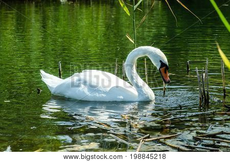 Cute Swan Diver.close Wiev On White Swan With His Head Under Water