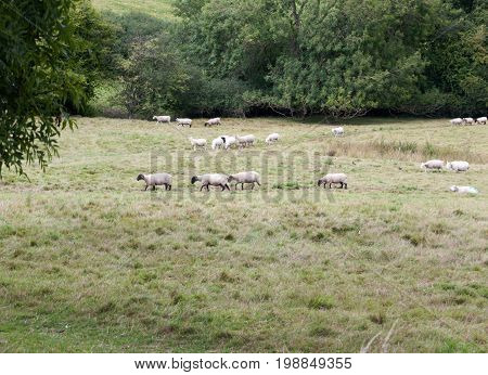 Sheep In A Uk Grassland Meadow Heading In One Direction