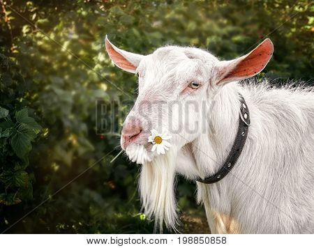 White goat chewing on a Daisy flower on a beautiful blurred green background. The horizontal frame.