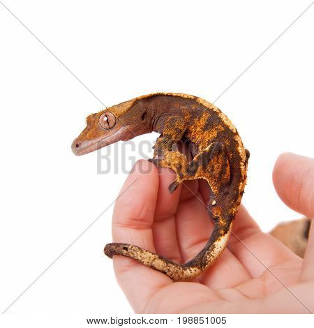 New Caledonian crested gecko, Rhacodactylus ciliatus, isolated on white