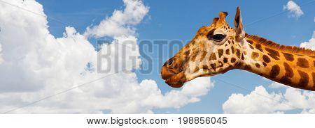 animal, nature and wildlife concept - giraffe head over blue sky and clouds background