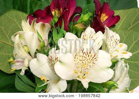 Flower Alstroemeria