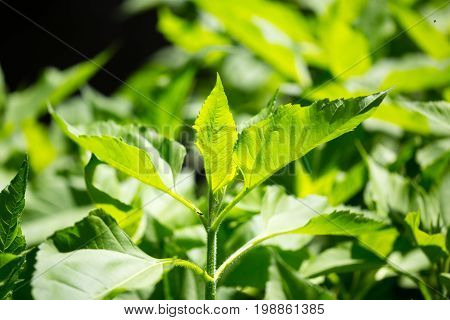 Green leaves of Jerusalem artichoke in nature .
