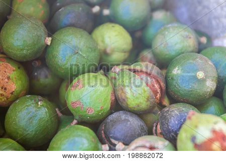 macadamia nuts, nuts orchid, macadamian nuts farm, harvest time