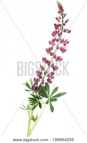 pink lupine flower isolated on white background