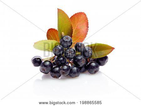 Fresh aronia berries with leaves. Aronia melanocarpa (black chokeberry) with leaves.