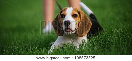 Dog on green meadow. Beagle puppy walking. Dog beagle for a walk