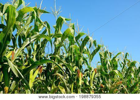 Fresh corn stalks on the blue sky background. Cornfield.
