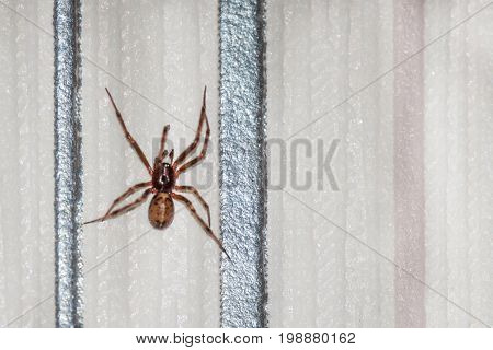 Spider Neosparassus On The Wall. The Hunter. Fear Of Spiders - Arachnophobia. Copy Space