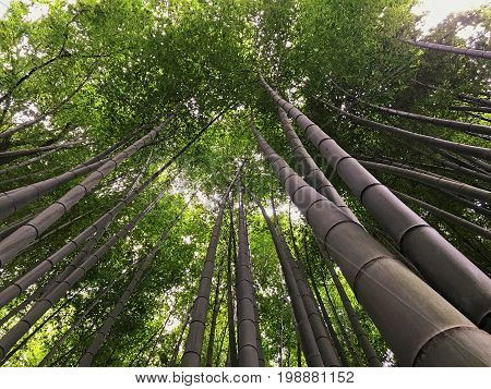 Beautiful bamboo forest near Kyoto in Japan a view of the bamboo looking up at the sky.