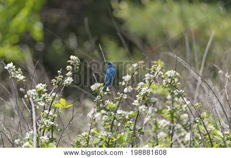 Indigo Bunting in a Mountain Meadow on the Blue Ridge Parkway in North Carolina