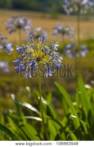 Purple agapanthus flowers in garden in sunny day, selective focus