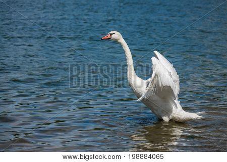 Swan preparing to fly away on a lake, UK