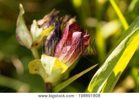 Flower of a purple gentian (Gentiana purpurea).