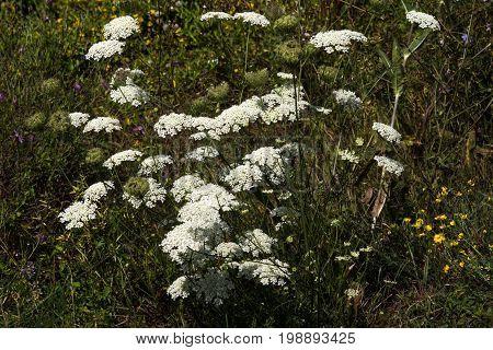 The wild yarrow (Achillea collina) herbal medicine as well.