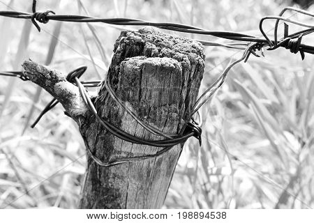 A black and white image of an old weathered fence post with rusted barbwire.