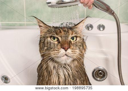 Wet cat. Muzzle of wet cat in the bathroom