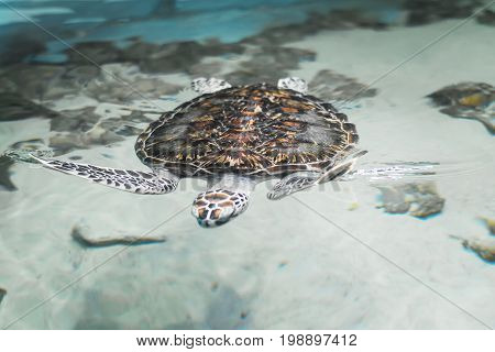 Big beautiful turtle floating in the sea near the shore. Beautiful reptile in the natural environment.