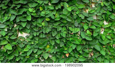 Green Creeper Plant on cement wall .