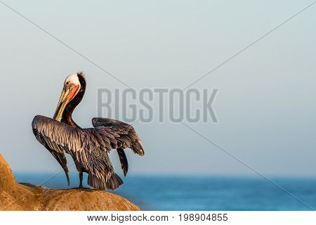 Brown pelican standing on the cliffs in La Jolla, California looking out at the pacific ocean.