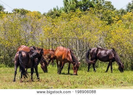 On the Outer Banks in Corolla, California, a herd of wild Spanish Mustangs grazes in a pasture.