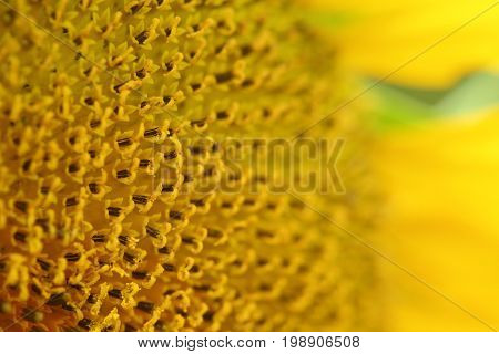 beautiful texture of pollen sunflower flora abstract flower nature background macro image photography