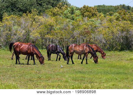 A herd of wild Spanish Mustangs grazing in a meadow in Corolla, North Carolina.