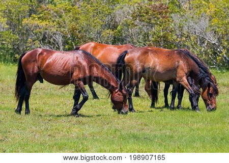 Close-up view of a herd of wild Spanish Mustangs grazing in a meadow in Corolla, North Carolina.