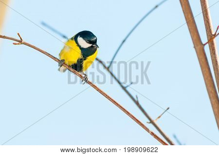 Yellow And Black Great Tit