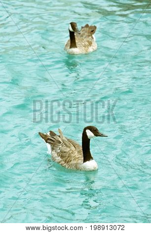 Two adult geese swimming in the lake