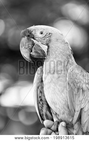 beautiful cute funny bird ara parrot outdoor on natural background