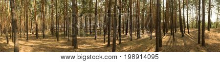 Wide panorama, landscape of old pine forest on bright Sunny day. Shadows from the bright midday sun