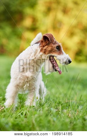 Vertical shot of an adorable wire fox terrier dog running in the park nature freedom health happiness lifestyle concept.