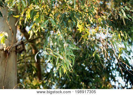 Eucalyptus tree green leaves nature flora aromatic